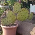 Télálló kaktuszok /Winter-hardy Cactus/