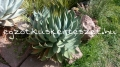 "Agave attenuata hybrid "" Red Margin"" nagy"