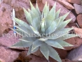 Agave parryi couseii