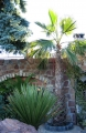 Washingtonia robusta 6-6.5m