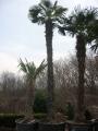 Trachycarpus fortunei 5-5.5m