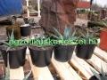 Agave utahensis ssp.kaibabensis 15-18cm