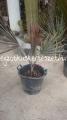 Bismarckia nobilis 1m