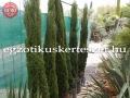 Cupressus sempervirens totem  Extra minőség!
