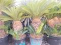 Cycas revoluta 50-55cm törzs