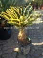 Cycas revoluta variegata