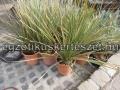 Dasylirion leiophyllum 1m.