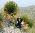 Dasylirion miquihuanensis 30cm törzs