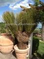Dasylirion miquihuanensis 3 fejű