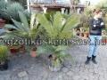 Dioon spinulosum 140cm