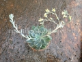 Echeveria x graptopetalum hybrid 1