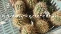 Echinocereus coccineus 6-8cm