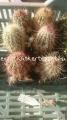 Echinocereus russanthus v. neocapillus 6cm