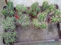 Echinocereus triglochidiatus 14-18cm telep