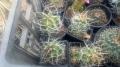 Echinocereus triglohidiatus 7-10cm