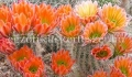 Echinocereus x roetteri /x lloydii/