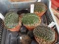 Echinopsis eyriesii x pasacana hybrid cristata