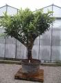 """Eriobotrya japonica """"Janán naspolya"""""""