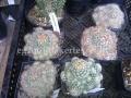 Escobaria sneedi x vivipara hybrid