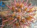 Ferocactus coloratus c18