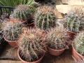 Ferocactus coloratus hybridek