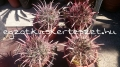 Ferocactus coloratus hybridek.