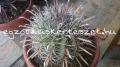Ferocactus herrerae 25-30