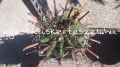 Ferocactus herrerae 20