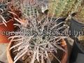 Ferocactus hybrid 6