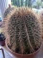 Ferocactus pilosus hybrid