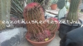 Ferocactus pilosus nagy telep