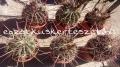 Ferocactus rectispinus 20 /40/