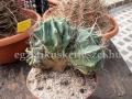 Ferocactus santa-maria cristata