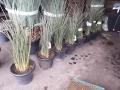 Hesperaloe parviflora 60cm