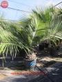 Jubea chilensis 40-50cm törzs