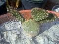 Opuntia basilaris v. aurea