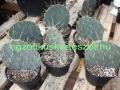 Opuntia engelmannii DJF 1170.19 Sandia Mts NM