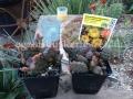 Opuntia fragilis hybrid