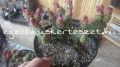 Opuntia fragilis telep 1