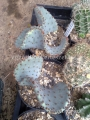 Opuntia macrocentra forma cristata