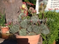 Opuntia macrocentra variegata
