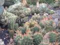 Opuntia rhodantha hybrid