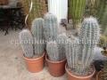 Pachycereus pringlei 3 növény