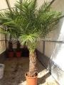 Phoenix robelinii 160-170cm