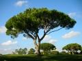 Pinus pinea 2.5m