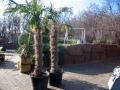 Trachycarpus Fortunei / Kínai kenderpálma/160