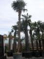 Trachycarpus fortunei  6.5m
