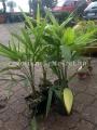 Trachycarpus fortunei 60cm