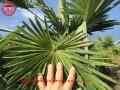 Trachycarpus fortunei variegata striata