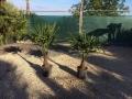 Trachycarpus fortunei 100-120cm